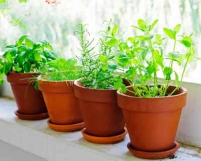 5 съвета за по-добро отглеждане на билки в домашни ...
