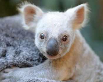 Рядка бяла коала се роди в австралийски зоопарк ...