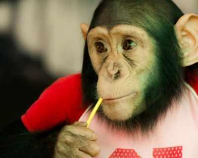 Съд отказа на шимпанзетата човешки права