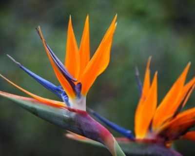 Стрелиция - райското цвете
