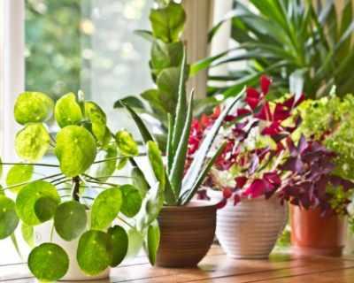Стайни растения, пречистващи въздуха