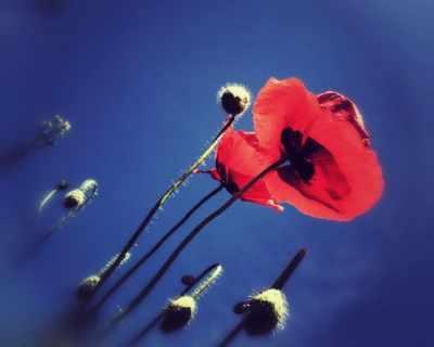"""""""Една роза може да е моята градина. ..."""