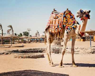 Разкрасяват камили с ботокс