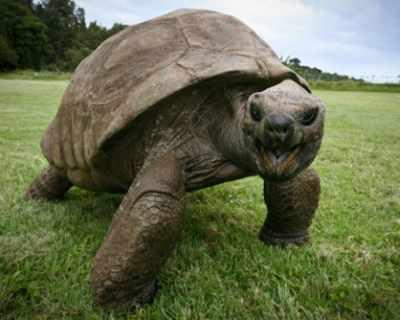 Пъргава гигантска костенурка за втори път бяга от ...