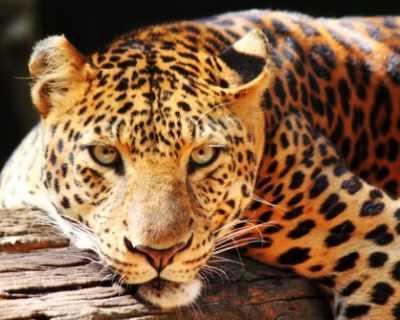 Леопардка къщелница на Памела Андерсън стана баба