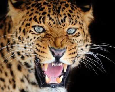 Гепардите все повече се превръщат в изчезнал вид