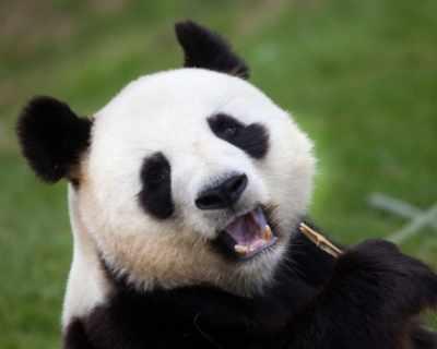 Пандите използват рева си, за да се разпознават