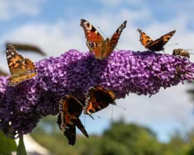 Миграция на редки видове пеперуди над Кипър